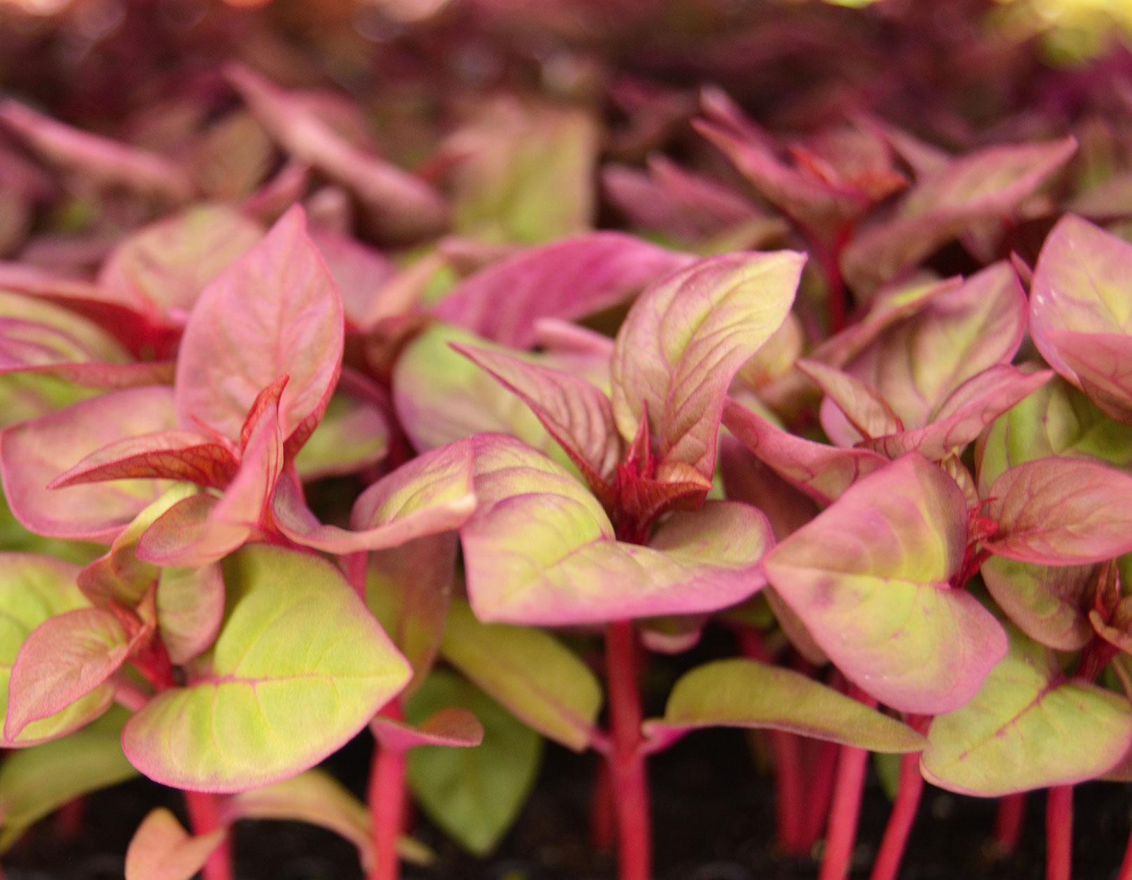begonia plugs