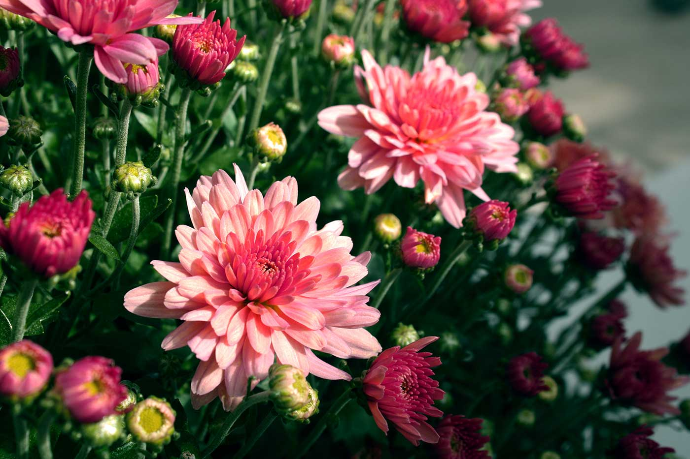 Chrysanthemum Close Up