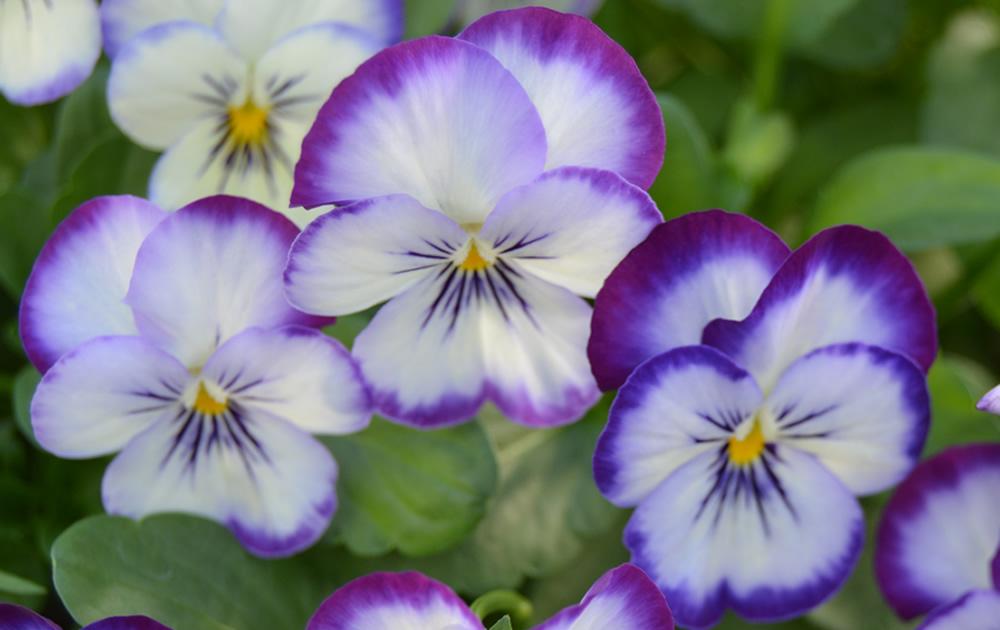 early spring viola