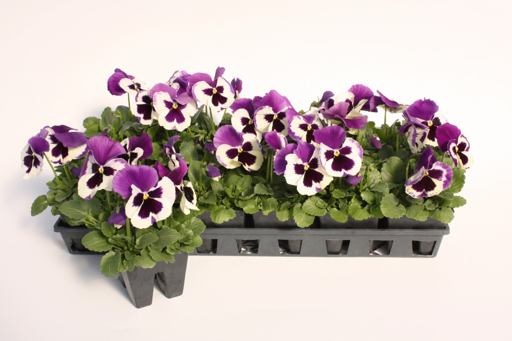 4 Pack Purple and White Pansy