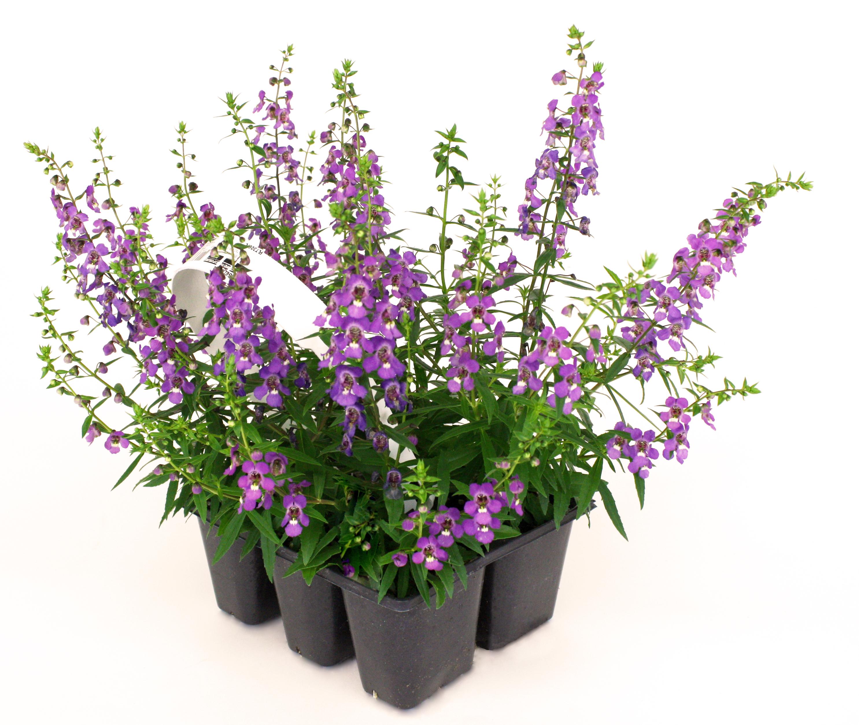 6 Pack Purple Angelonia