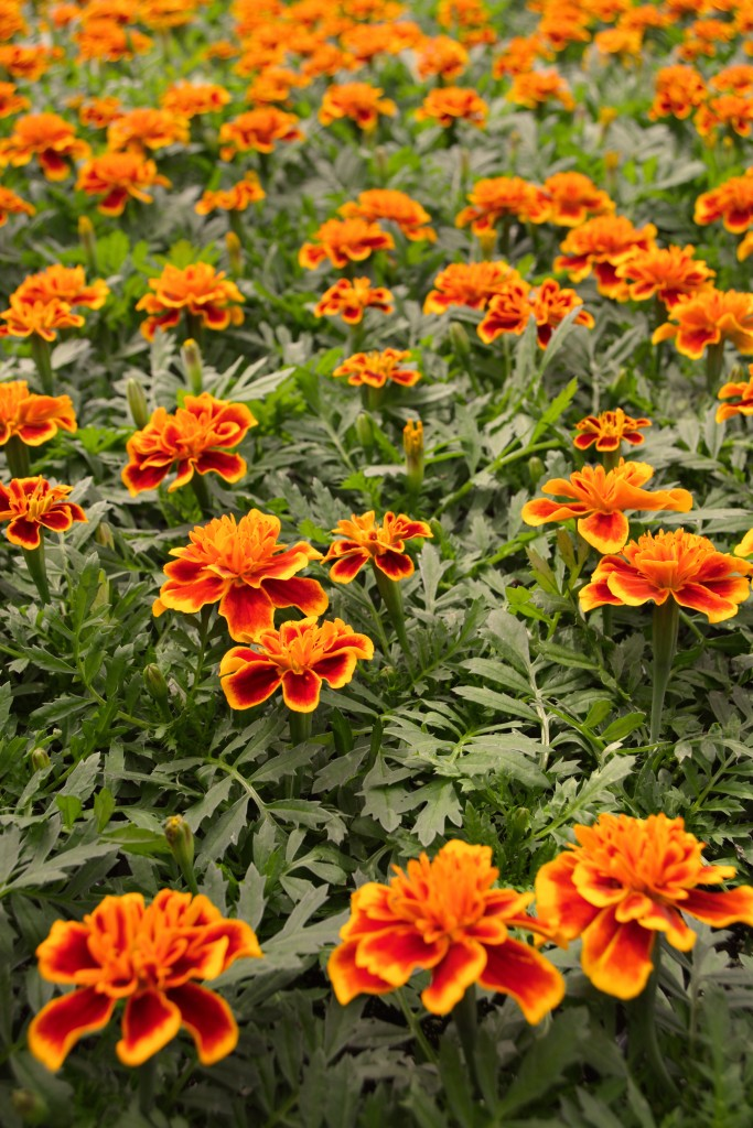 Orange and Red Marigold Bench