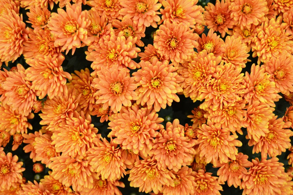 Chrysanthemum Bronze Orange