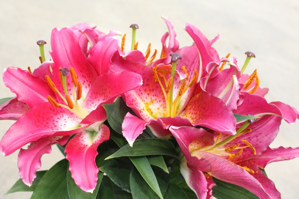 Bright Pink Dwarf Oriental Lily