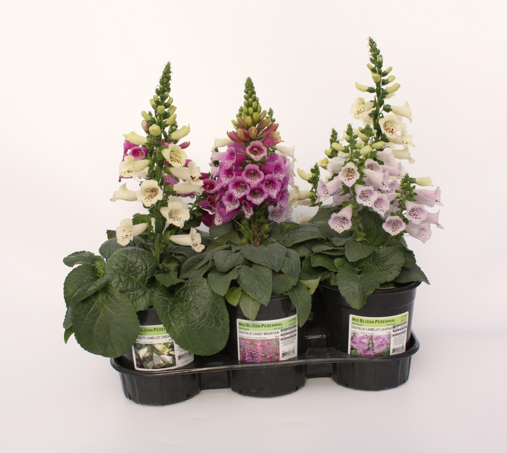 Gallon Digitalis in White, Pink, Dark Pink