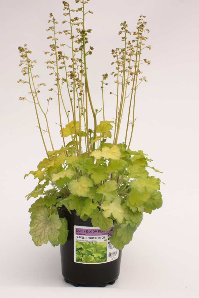 Gallon Heuchera Lemon Chiffon