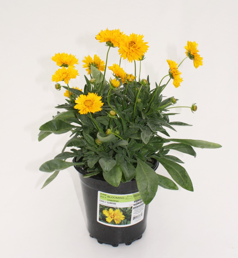 Yellow gallon Coreopsis