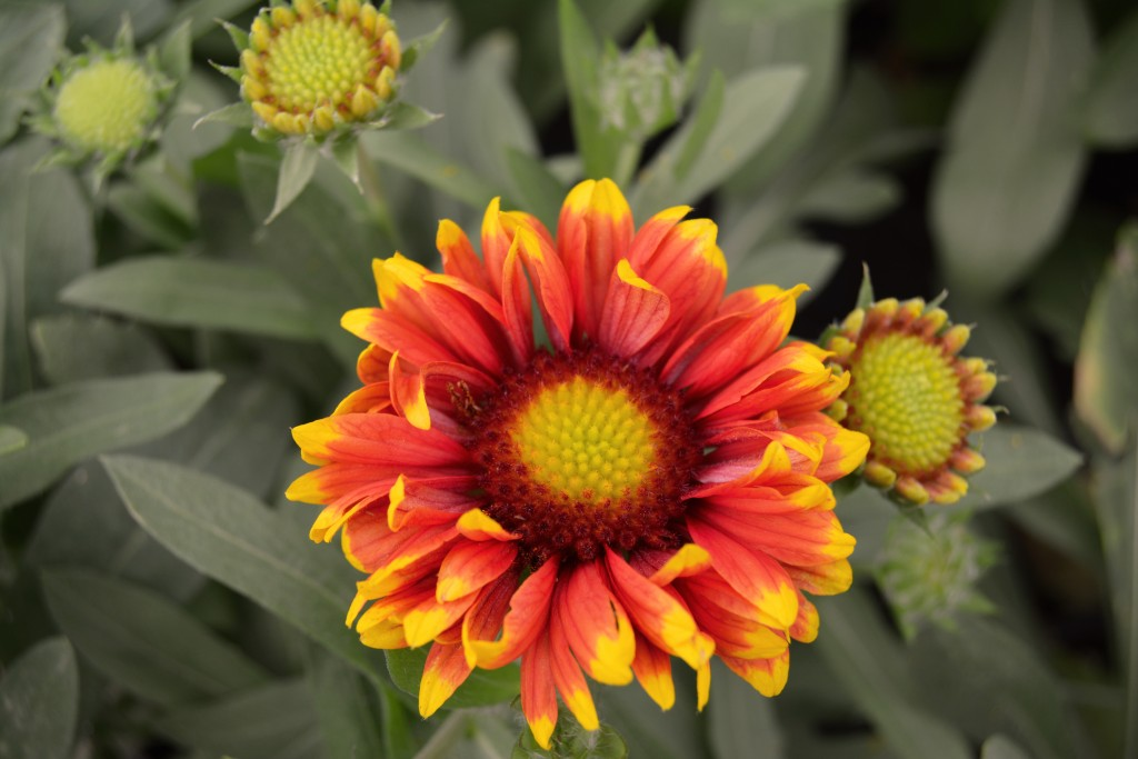 Yellow and Red Gaillardia Close Up