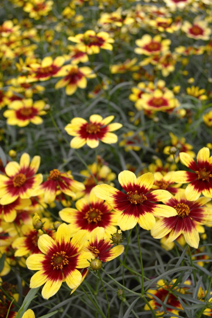Yellow and Red Coreopsis Close Up