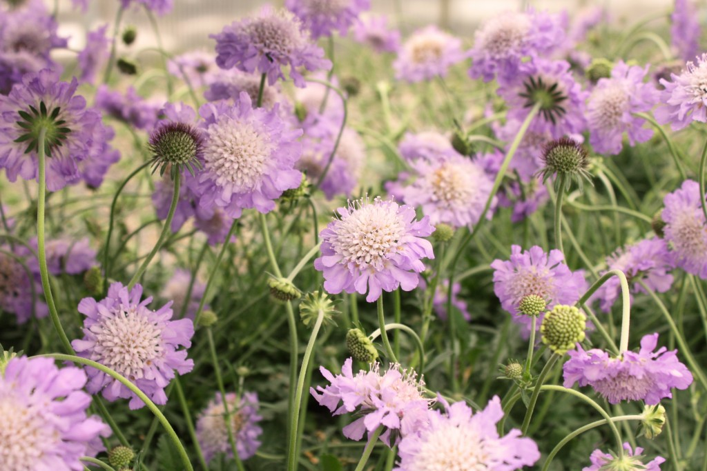 Purple Scabiosa Close Up