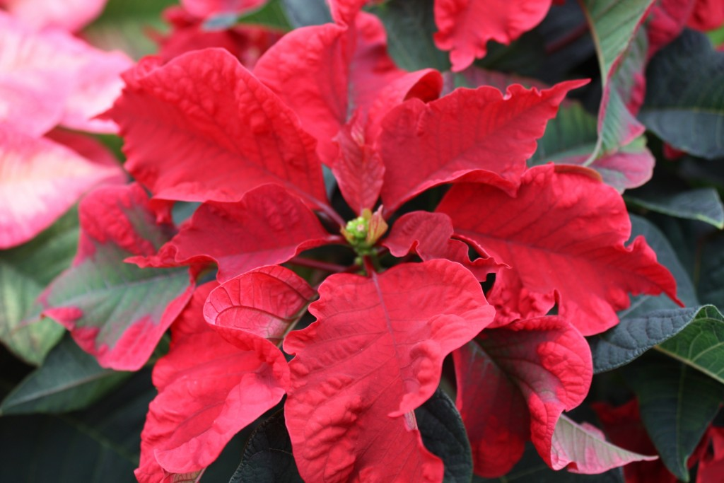 Carousel Dark Red Poinsettia Close Up