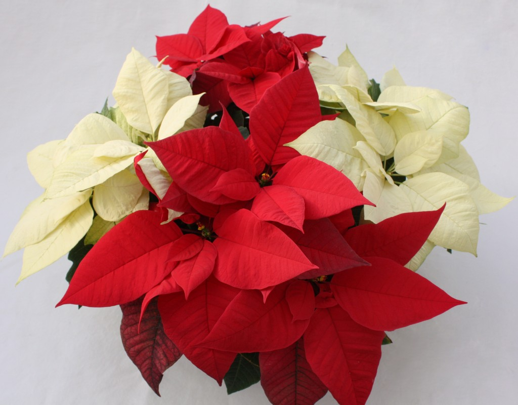 Red and White Poinsettia Combo