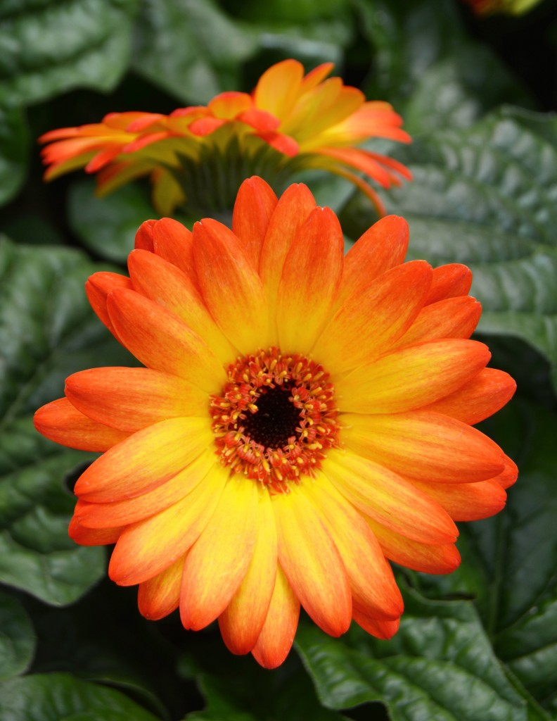 Orange and Yellow Gerbera Daisy Close Up
