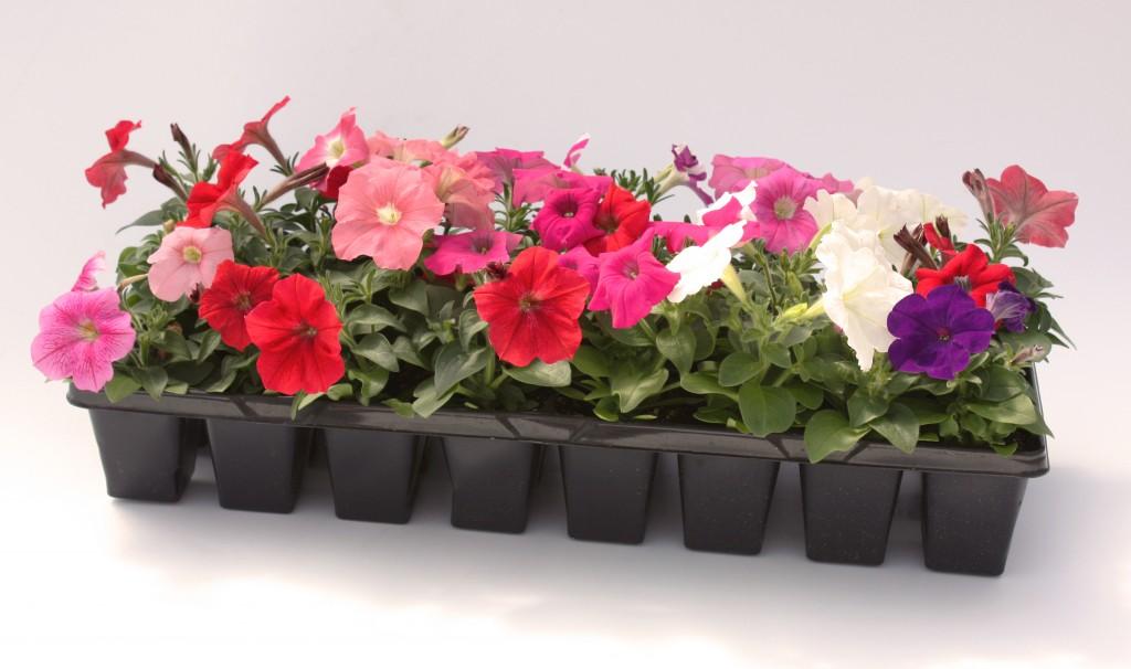 24 Pack Multi Colored Petunia