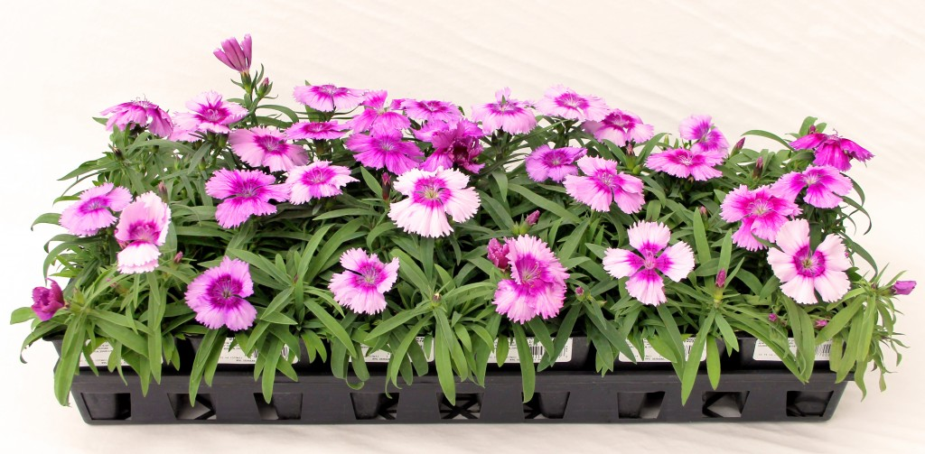4 Pack Pink Annual Dianthus