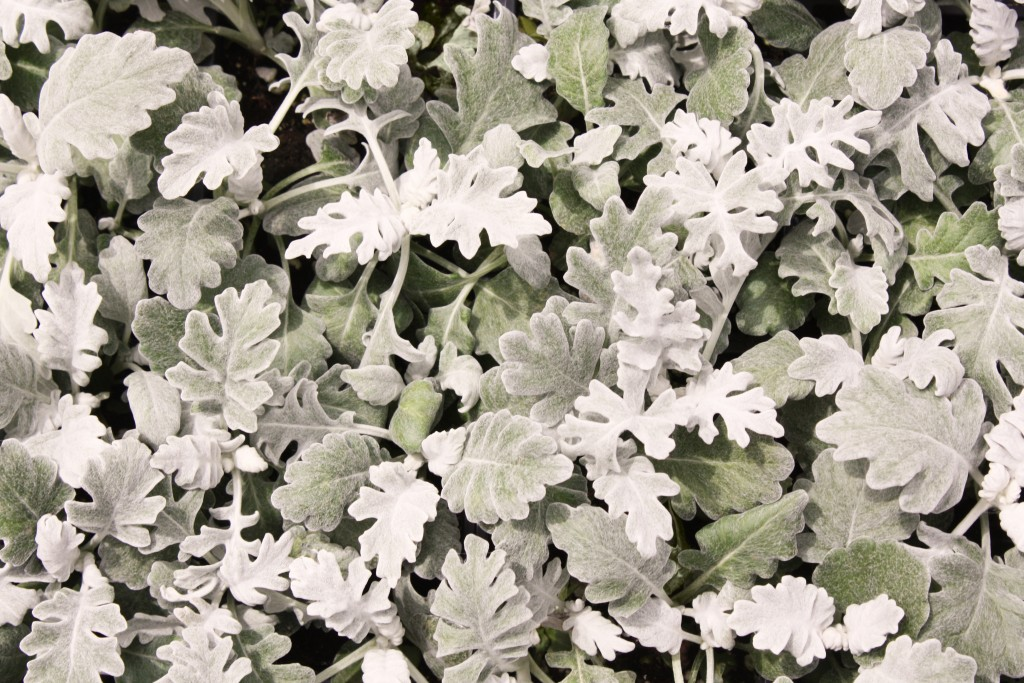 Dusty Miller Close Up