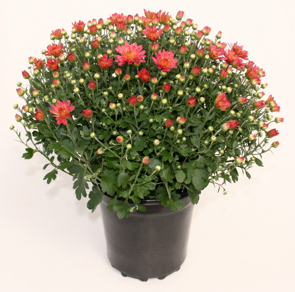 1 gallon Coral Salmon Chrysanthemum
