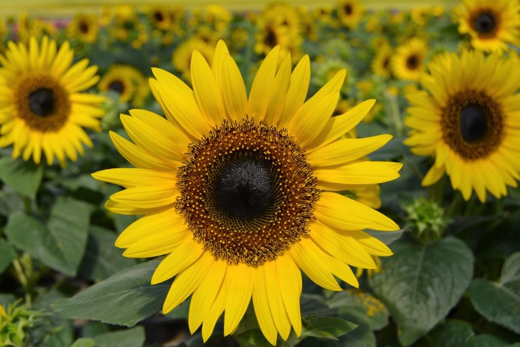Sunflower Close Up