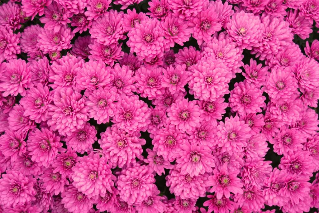 Chrysanthemum Pink Lavender
