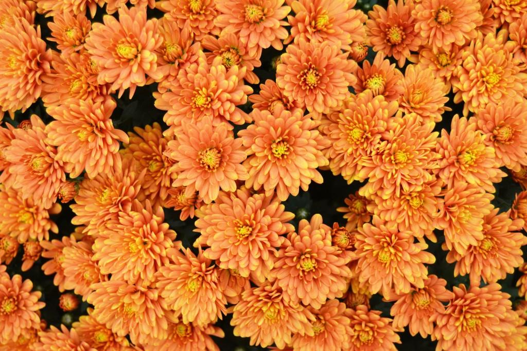 Chrysanthemum Bronze Orange