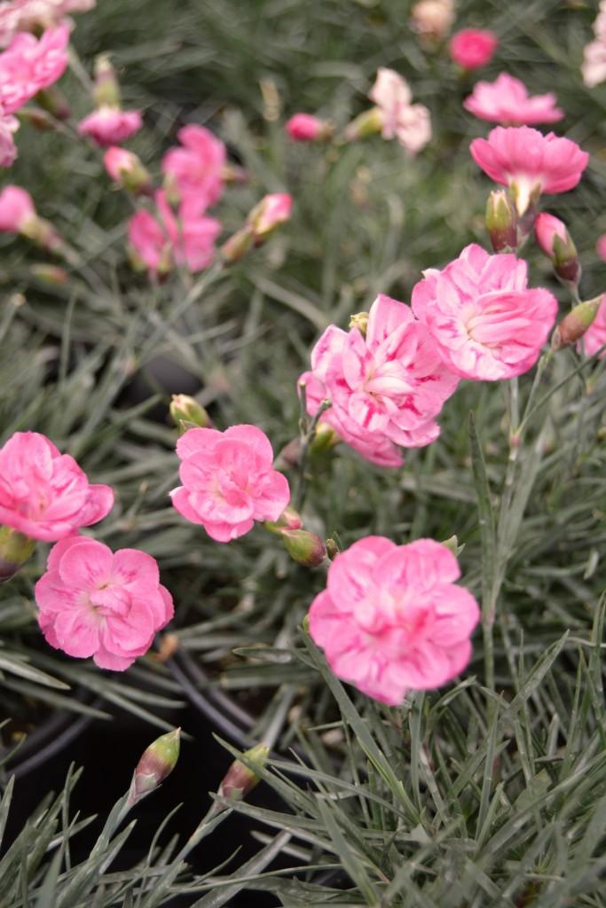Pink Dianthus Close Up