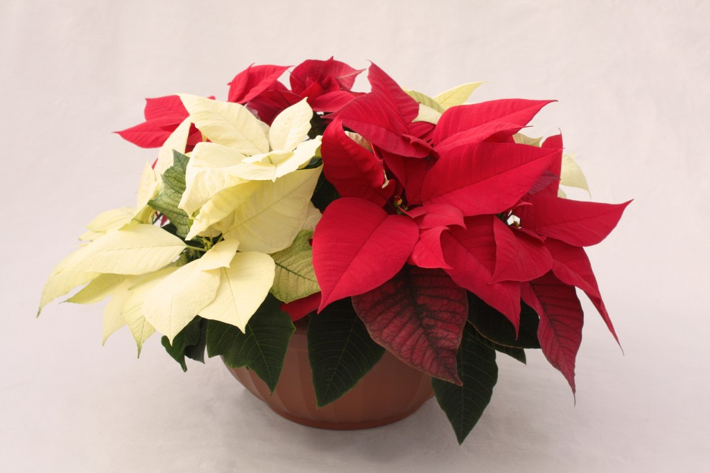 Red and White Combo Poinsettia Planter