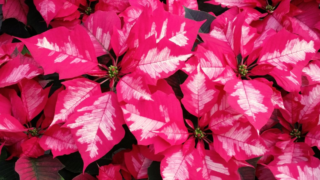 Ice Punch Poinsettia Close Up