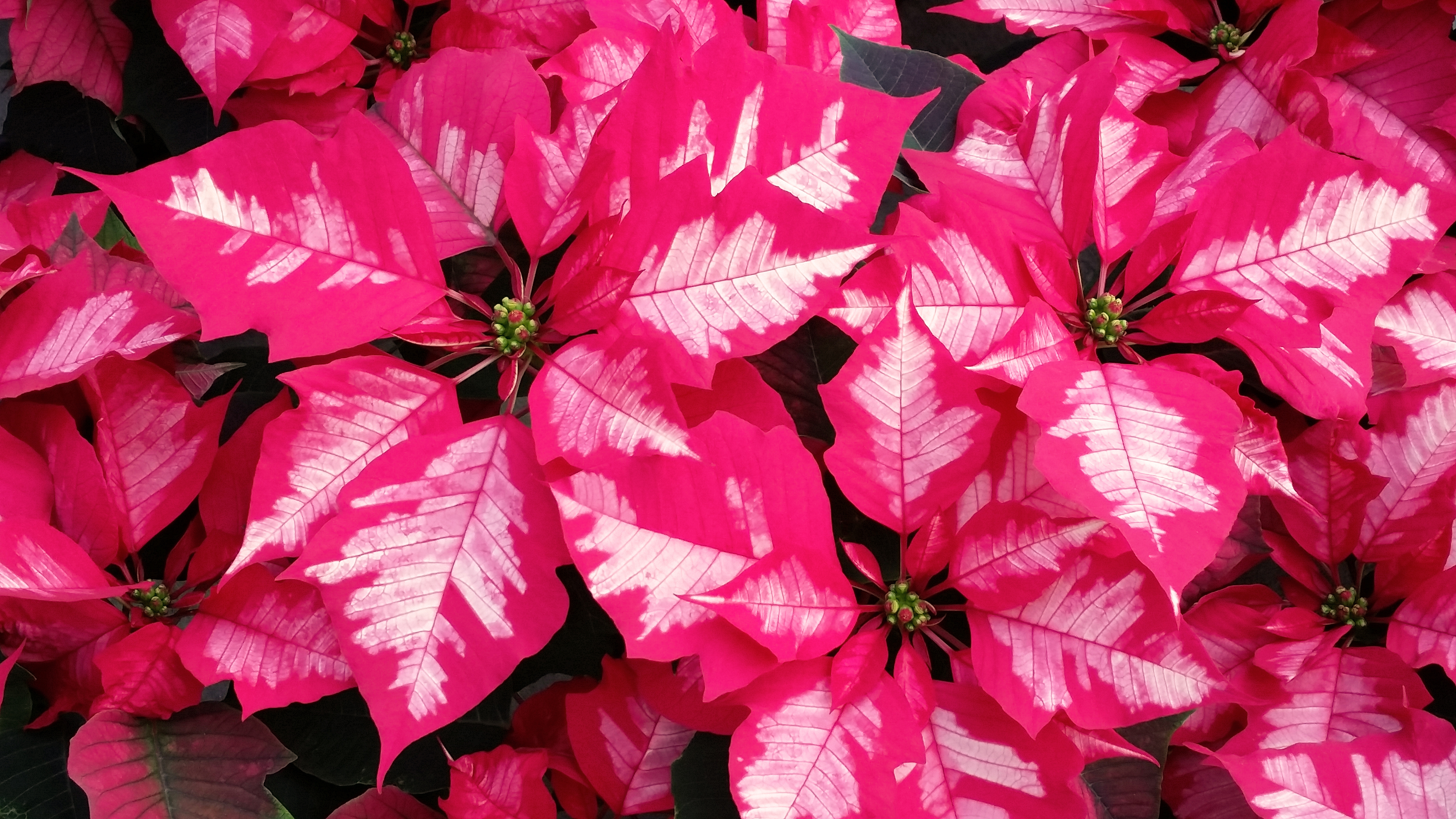 Poinsettia Ice Punch Natural Beauty