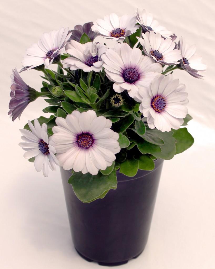 1 Quart White and Purple Osteospermum