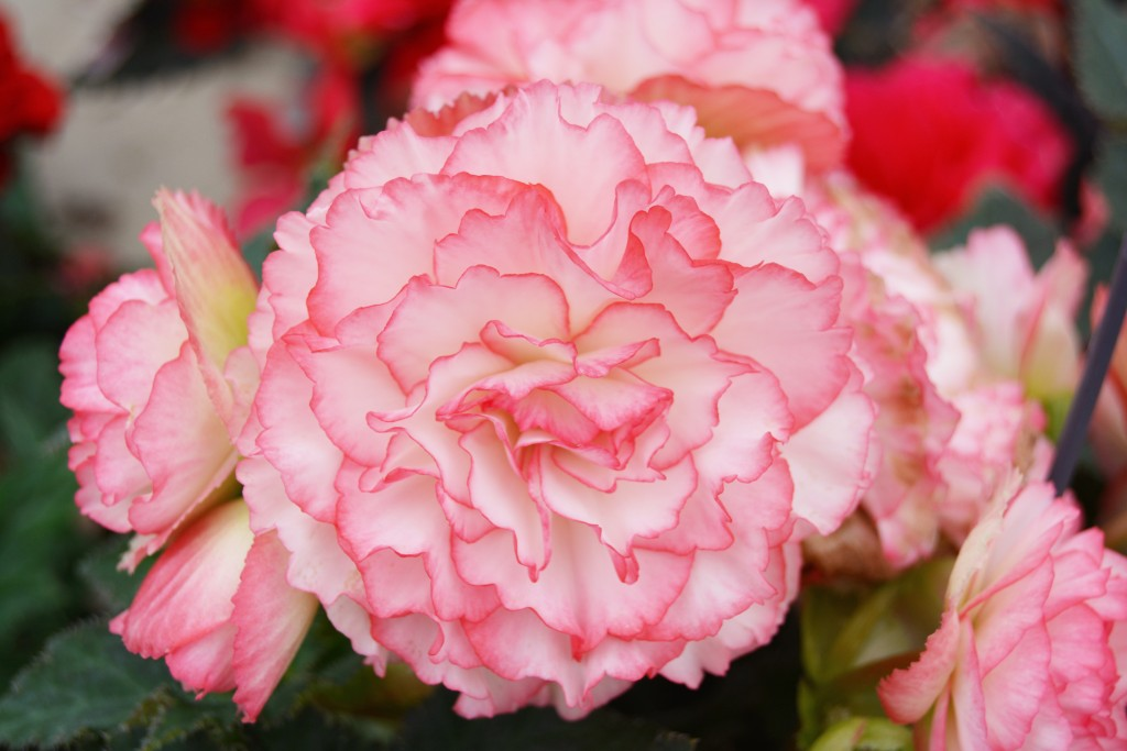 Pink and White Tuberous Begonia Close Up