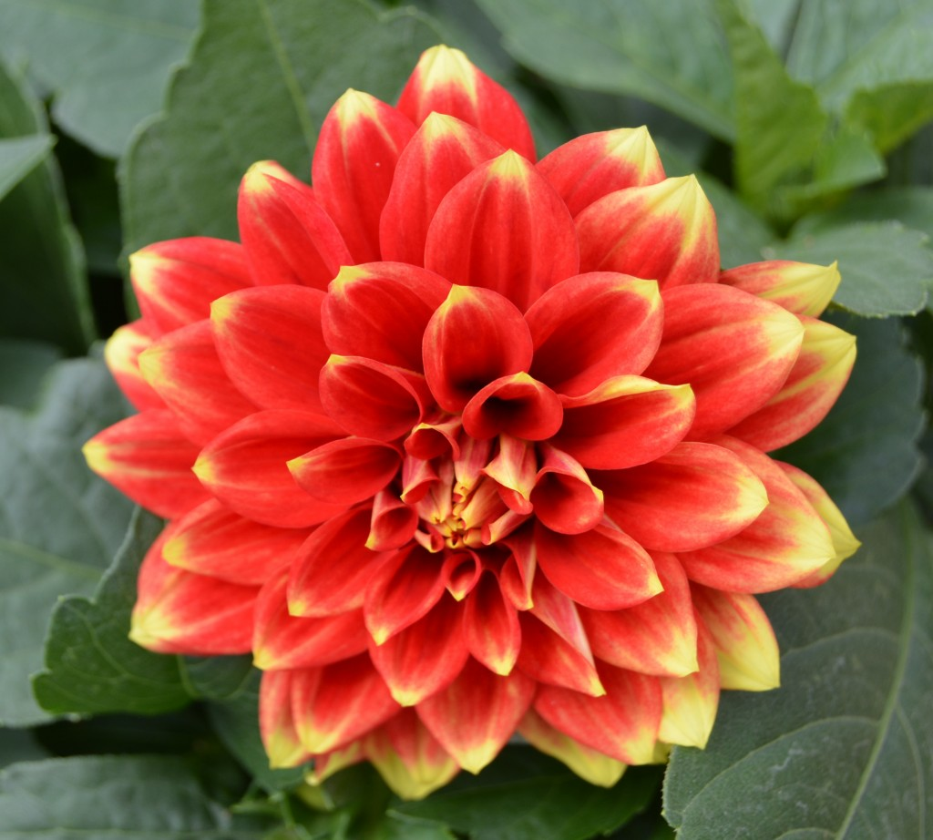Red and Yellow Dahlia Close Up