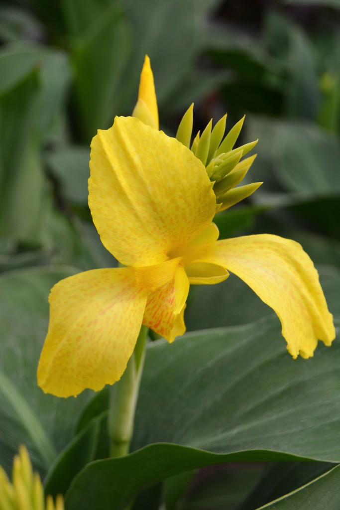 Yellow with Red Spots Canna Lily Close Up