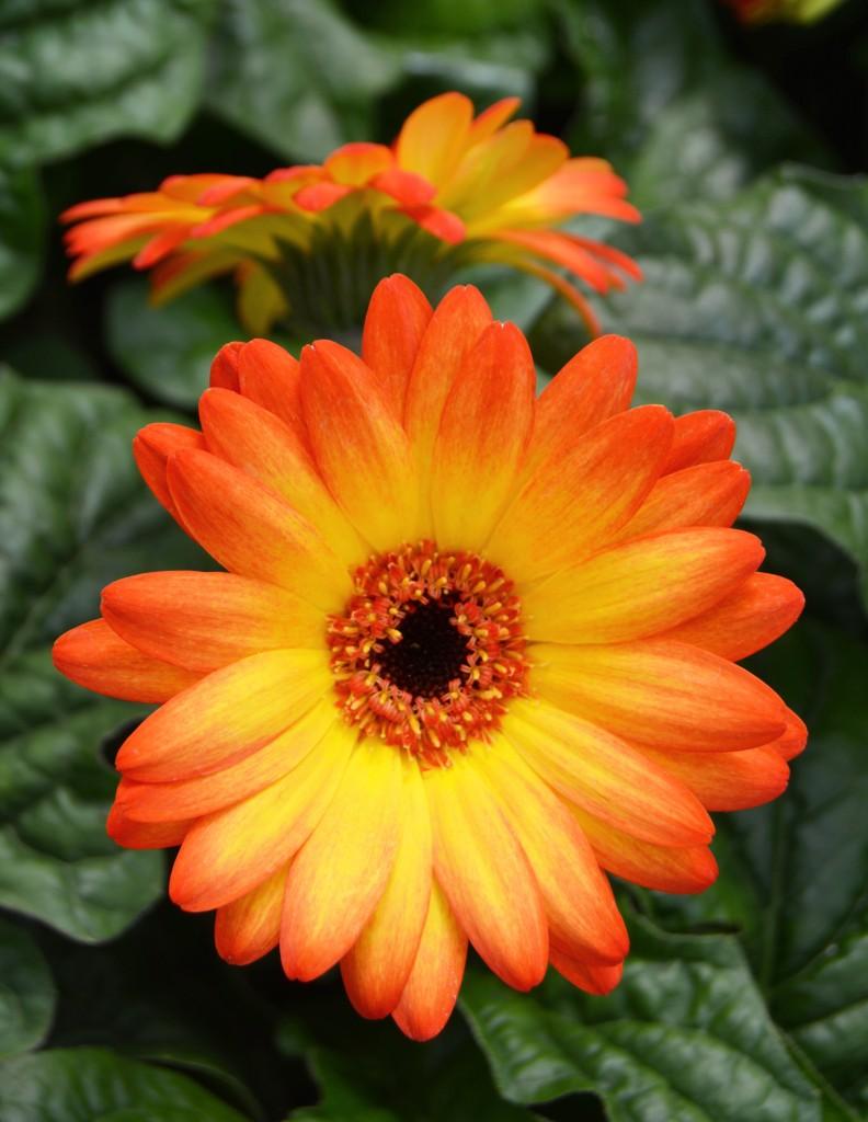 Orange and Yellow Gerbera Daisy Close Up