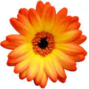 Gerbera Daisy Close Up